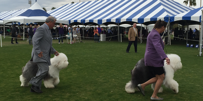Picture of Palm Springs Kennel Club Dog Show in Indio